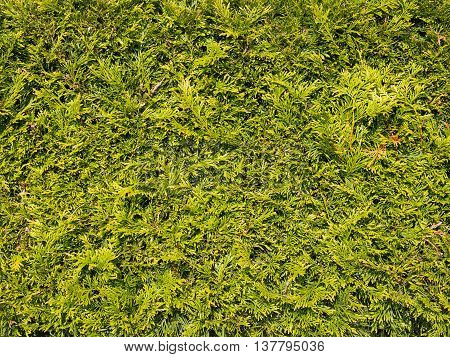 sheared texture fragrant green arborvitae shrub with small needle-like leaves softwood