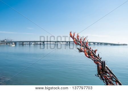 Red flowering flax with de-focused Tauranga Harbor and Bridge beyond.