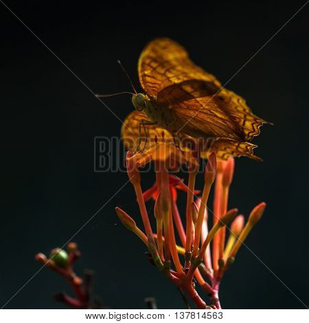 Fritillary yellow Butterflie on a flowers in sunlight