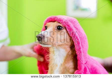 Small dog after washing by dog hairdresser in pet grooming salon