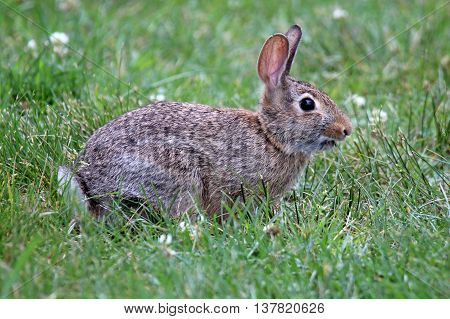 A wild eastern cottontail rabbit grazing in a meadow.