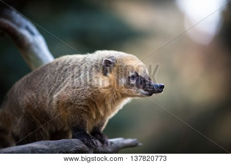 White-nosed Coati (Nasua narica) aka Pizote or Antoon. Diurnal, omnivore mammal