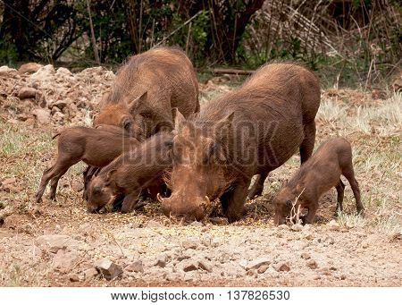 Family of warthogs foraging for food in nature reserve bush veld in South Africa