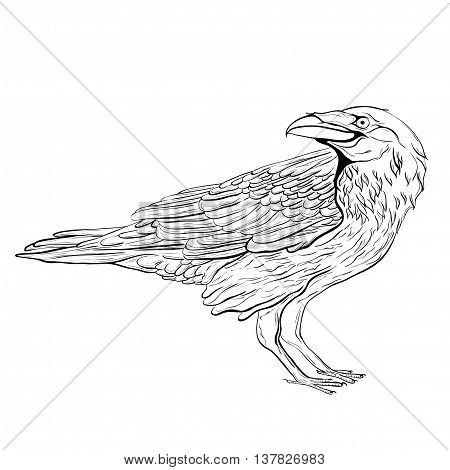 Highly detailed black raven on white background