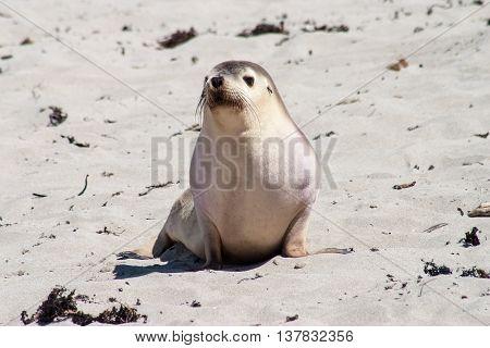 Little Seal Kangaroo Island