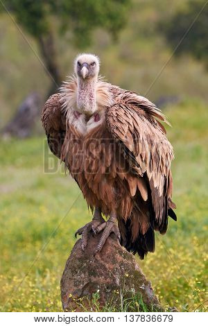Griffon vulture (Gyps fulvus) sitting on a rock in its habitat