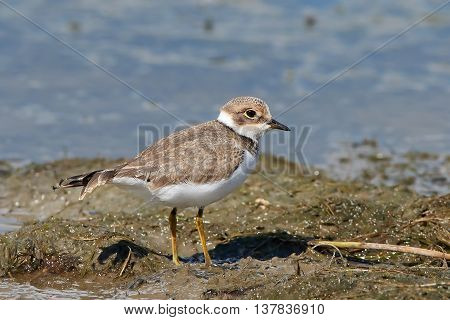 Little ringed plover (Charadrius dubius) standing in mud in its habitat