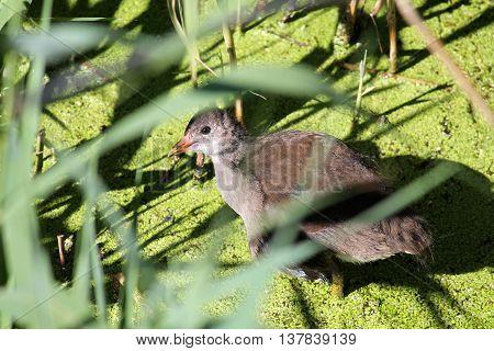 Common Moorhen (Gallinula chloropus) chick. Wild bird