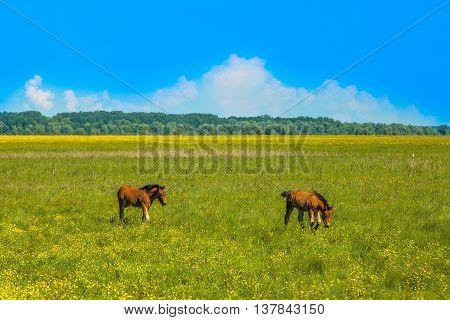 Two foals on green field in spring in nature park Lonjsko polje, Croatia