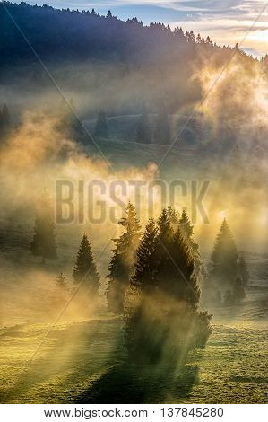 morning fog in conifer forest in warm sun light