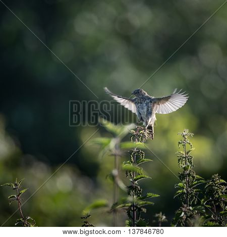 Skylark starts to take off to flight from nettle (Alauda arvensis)