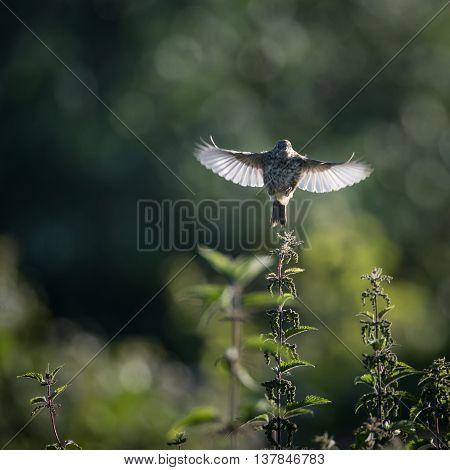 Skylark take off to flight from nettle (Alauda arvensis)
