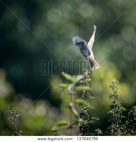 Skylark in flight from nettle (Alauda arvensis)