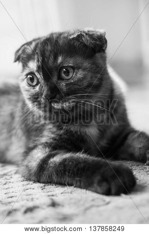 Closeup of the scottish fold cat in monochrome