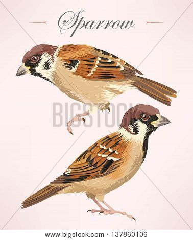 Vector illustration of two high detailed sparrows