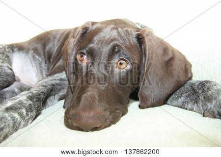 German shorthaired pointer puppy 16 weeks old