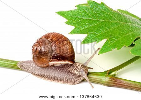 snail crawling on the vine with leaf on a white background.