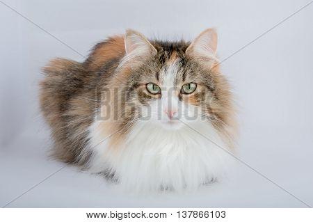 Long Hair tortoiseshell cat on a plain background