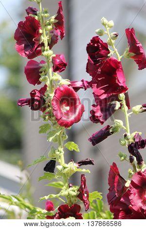 Deep Red colored hollyhock in a flower garden