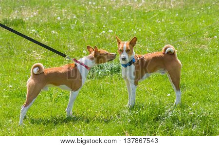 Basenji father (left) and son (right) - meeting after separation