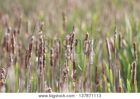 bright thickets of cattail fluff from flying around