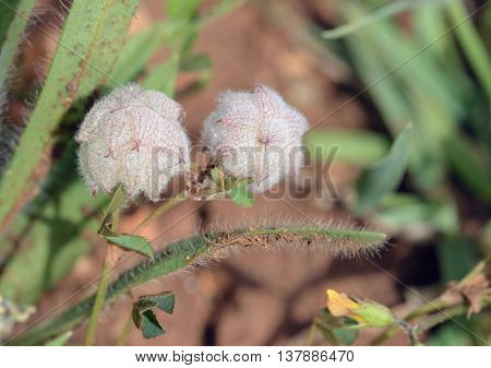 Reversed or Persian Clover - Trifolium resupinatum Small Mediterranean Flower