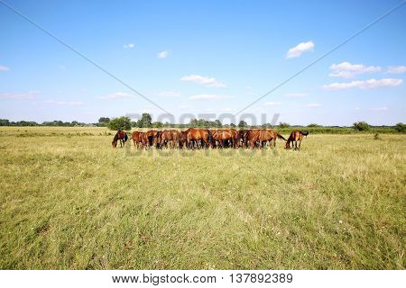 Young anglo arabian mares and foals grazing on the meadow summertime. Panoramic view of herd of horses when grazing on meadow