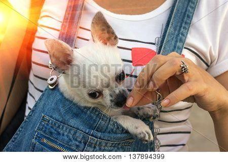 chihuahua puppy in the bosom of the girl at sunset
