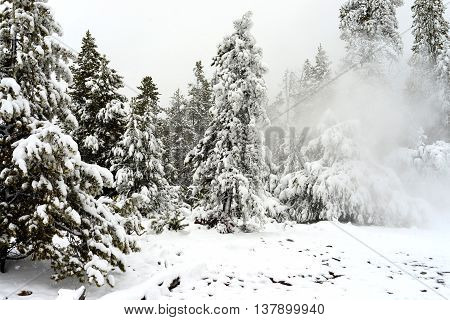 Douglas Fir covered with snow in Yellowstone National Park