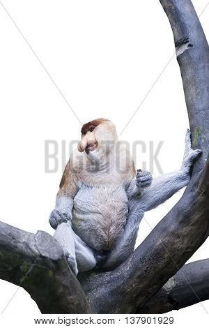Picture of exotic proboscis monkey sitting on the tree isolated on white background