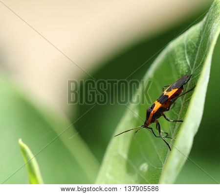 Boxelder bug Boisea trivittata on green leaf.