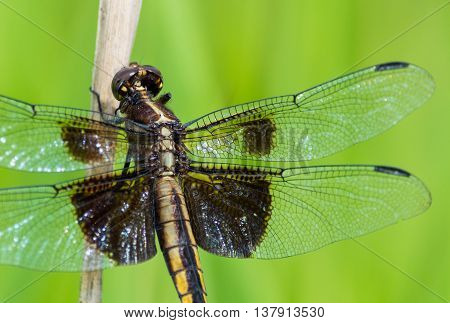Widow Skimmer Dragonfly (Libellula luctuosa) sitting on dry reed
