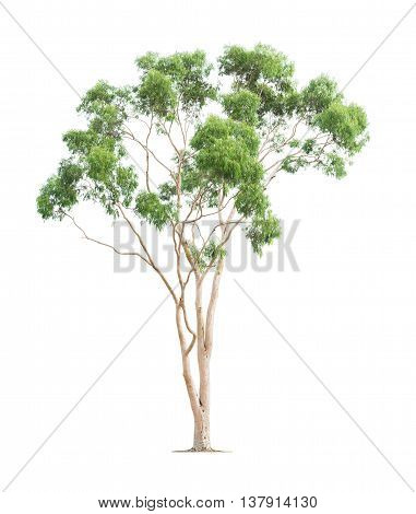 Green beautiful and tall eucalyptus tree isolated on white background