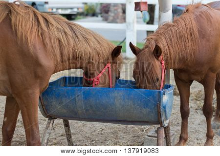 brown horse. horse in the paddock and bent over eating from rubber feed skip