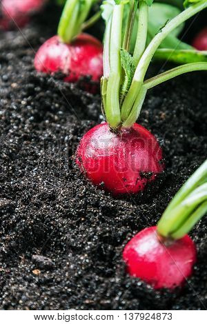 Fresh radishes in vegetable garden or a field. Harvest radishes