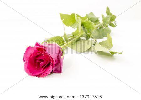 Pink Rose isolated on White background leaf,blossom,bloom,gift, love, flora, decorative,valentine, beautiful, romance,romantic, Rose petals,Petals,Leaves,Pink ,romantic,love,moisture,rainy season,rainy,season,art,arts,abstract,outstanding, Classic,
