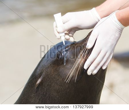 Adult Sealion Being Treated (eye)