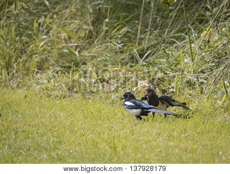 Magpie feeding young on grass bank (Pica Pica)
