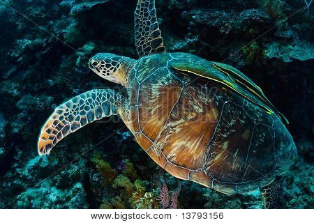 Green Turtle With Two Remoras