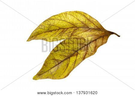 Two Conjoined  Autumn Colored Ieaves Isolated On White 6