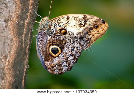 Caligo memnon butterfly from sideways on a tree