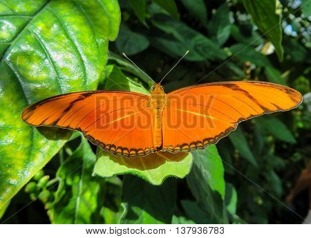Close-up of a large orange butterfly on a leaf showing wingspan