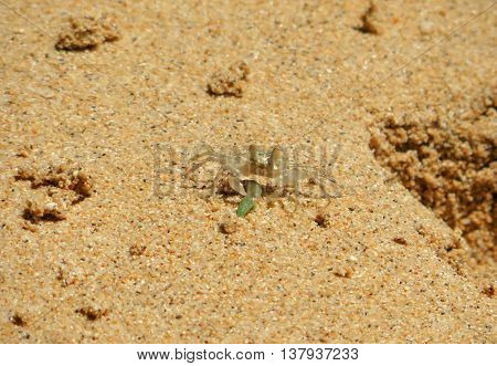 Close-up of a small sea crab on sand with green food