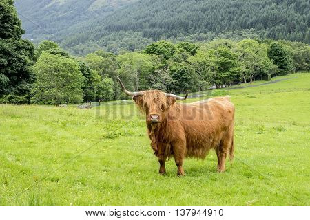 Shaggy haired and long horned Highland cow stands in a grassy field with beautiful woodland and forested hills background