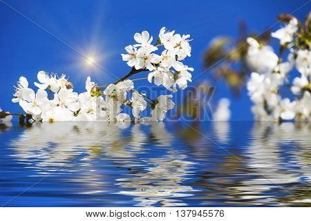 Cherry Blossoms with reflection in water, with sun and blue sky