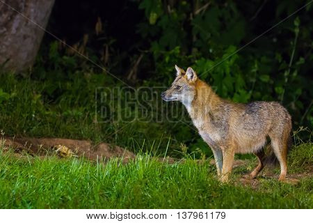 Golden Jackal Or Fox At Nigth