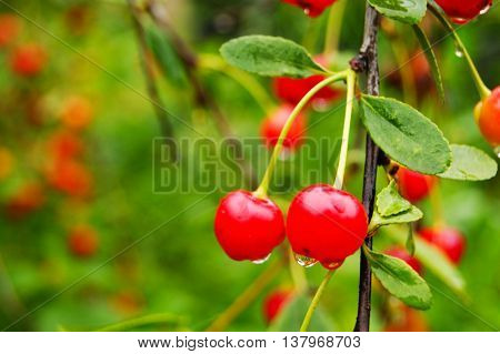 tree, cherry, branch, fruit, food, red, leaf, summer, green, ripe, berry, healthy, objects, gardening, garden, eating, sweet, plant, twig, rural, close, up, growth, nature, nobody, agriculture, organic, sour, season, taste, color, outdoors, bunch, juicy,