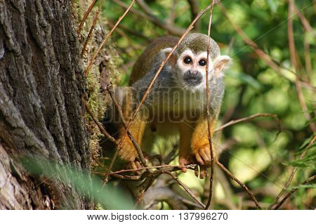 Common Squirrel Monkey (Saimiri sciureus) on tree