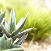 Low angle view of a succulent or agave plant in the sun with copy space. Selective focus of a desert plant with defocused background. Echeveria. poster