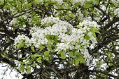 Fascinating delicate pear color spring on May poster
